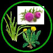 Огородные сорняки и их польза