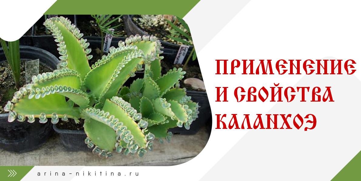 каланхож-растение