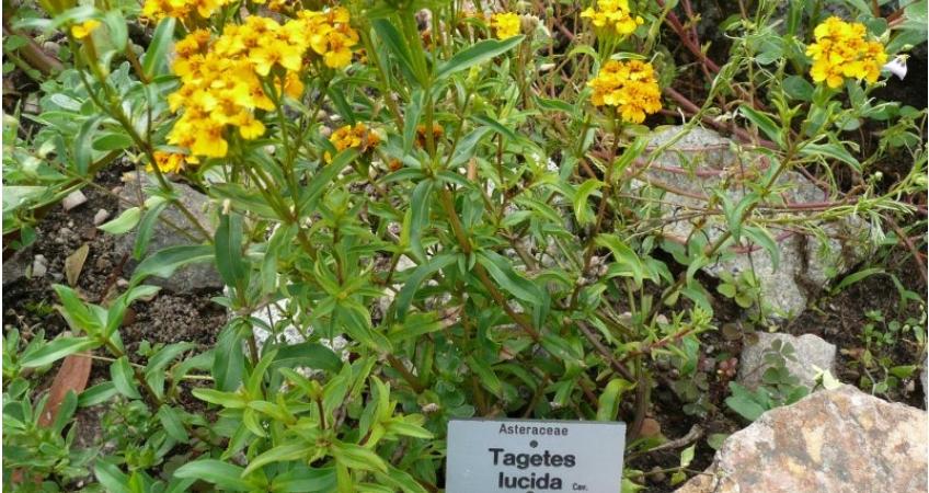 Tagetes lucida. Лечебные свойства бархатцев