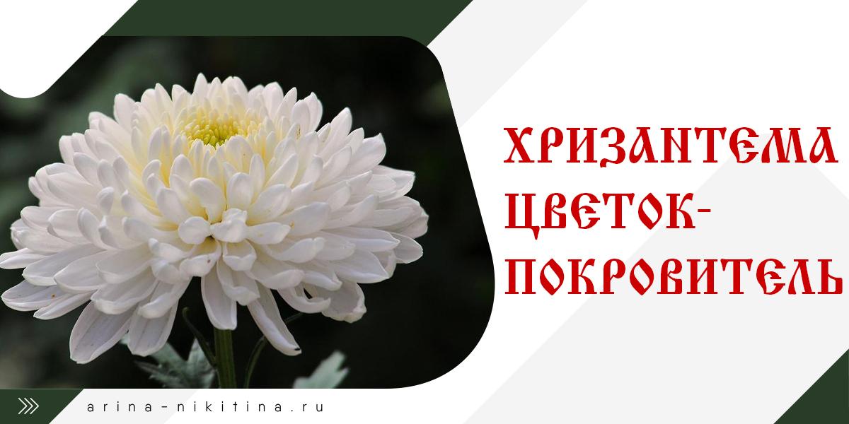 Цветок-покровитель хризантема