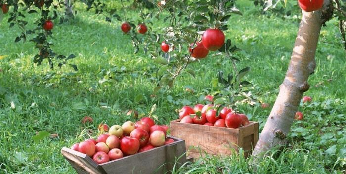 история яблок
