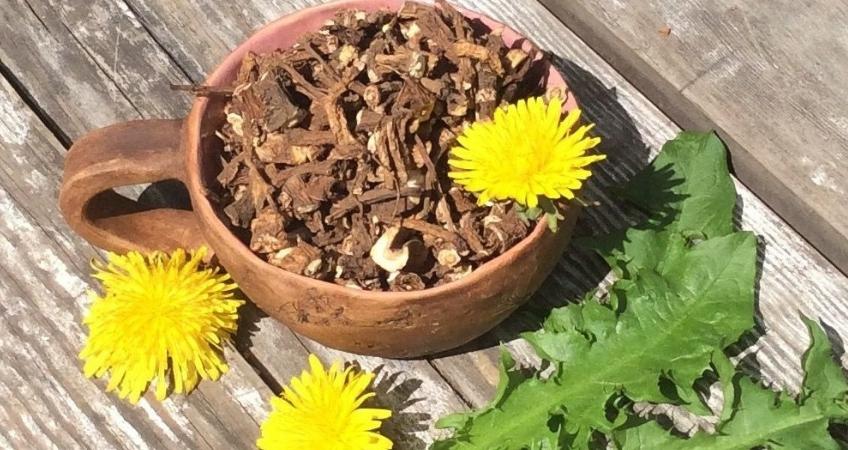 Народное лечение одуванчиком: корень, сок, мед, кофе