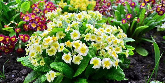 Полезные свойства первоцвета